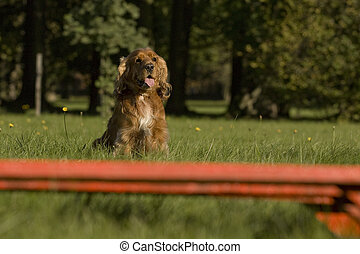 Agility - Dog skill competition. - American Cocker Spaniel...