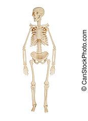 human skeleton on a white background