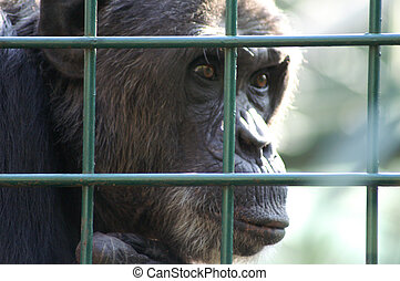 Monkey in captivity - An African monkey in captivity at the...