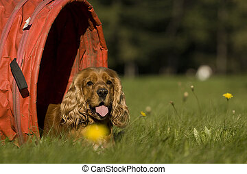Agility - Dog skill competition. - golden cocker spaniel,...