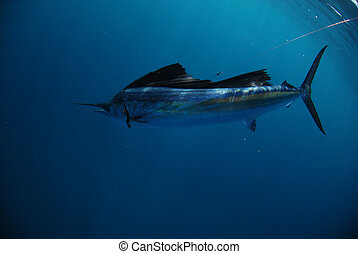 sailfish underwater in ocean