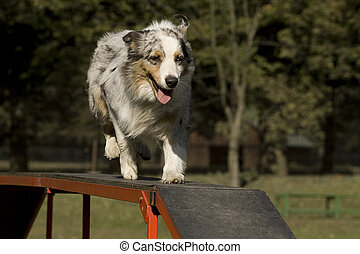 Agility - Dog skill competition. - Dog, Australian Shepherd,...