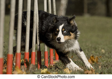 Agility - Dog skill competition. - Australian shepherd dog...