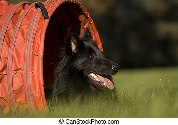 Agility - Dog skill competition. - Belgian shepherd, who...