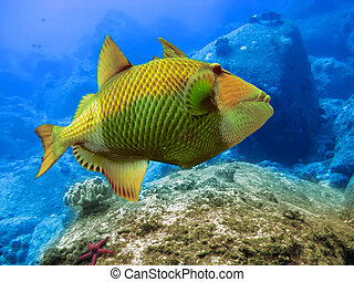 Indian ocean. Underwater world. Triggerfish