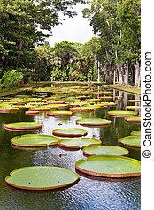 The lake in park with Victoria amazonica, Victoria regia....