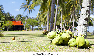 plenty of coconuts lying on the ground near palm tree