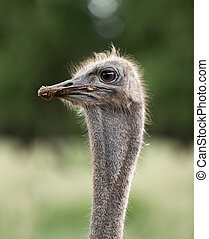 ostrich emu head close up