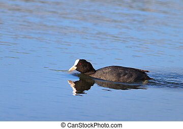 Eurasian coot Fulica atra swimming on pond