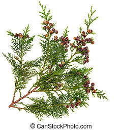 Cedar Leaves - Cedar cypress leyland leaf branch with pine...
