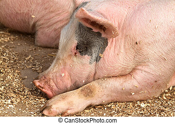 Sleeping hogs - Hog sleeping among woodshavings