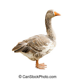 Goose isolated on white background, including clipping path