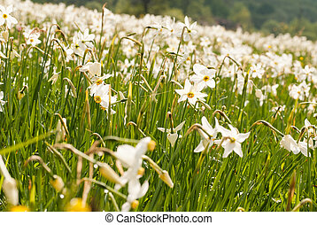 National park of wild narcissies