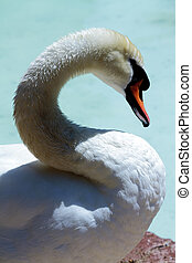 free swan scene with scientific name Cygnus olor