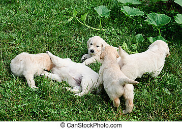 Playful puppies - Five golden retriever's puppies are...