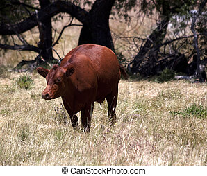 Red Angus Cow in a Pasture