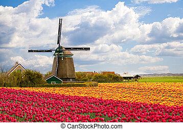 moinho de vento, tulipa, campo