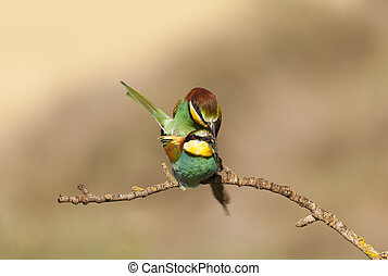 Bee-eater - Copulating pair of bee-eaters on a branch