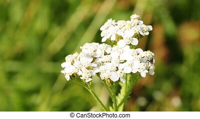 common yarrow, medicine plant