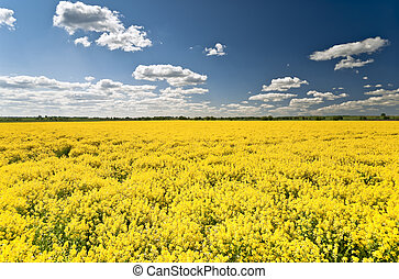 Rape field - Flowering yellow rape field and clouds in blue...