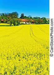 yellow rape field in spring - eion yellow canola field in...