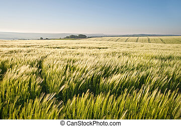 Wheat field at sunrise in English countryside landscape -...
