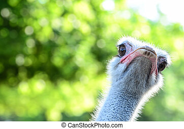 Funny ostrich portrait
