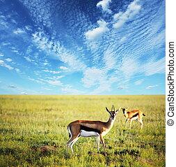 Antelope - antelope