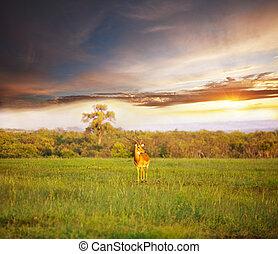 Antelope - antelope Gemsbok