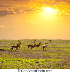 Antelope - antelope in bush