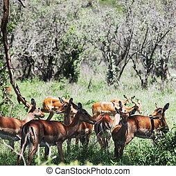 Antelope - antelope impala