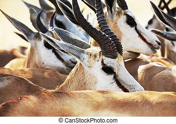 Antelope Sprinbok