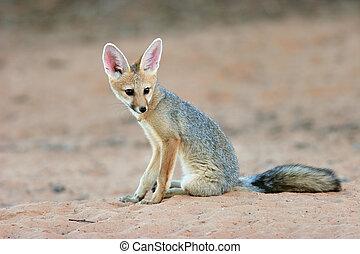 Cape fox (Vulpes chama) sitting, Kalahari desert, South...