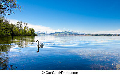 White Swan on the Lake Zuger, Switzerland