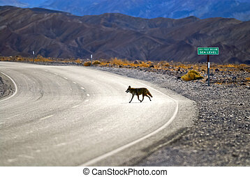 Death Valley Coyote - Wild Coyote crossing the road in Death...