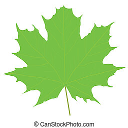 maple leaf - vector maple leaf