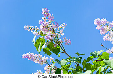 branch of lilac blossom