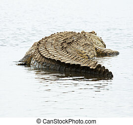 Crocodile - crocodile on Chamo Lake