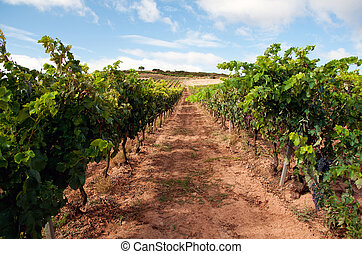 Wineyard in La Rioja, Spain - La Rioja is both a province...