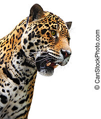 Jaguar head, wild animal isolated - Animal - wild cat -...