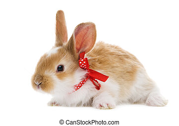 one young baby rabbit isolated - one young light brown and...