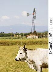 Maremma cow - cows in Maremma Tuscany landscape