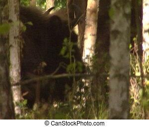 wisent walk forest - European bison aurochs wisent walk in...