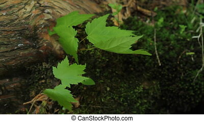 Moss and maple leaves - Young maple leaves growing out of...