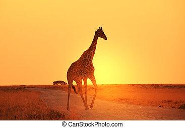Giraffe - giraffe in savannah