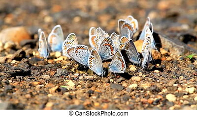Many butterflies resting together