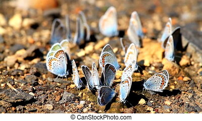 Butterflies - Many butterflies resting together