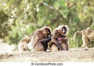 Monkey Gelada - monkey