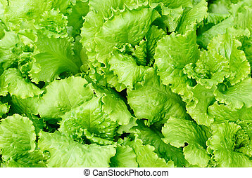 fresh salad lettuce background