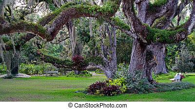 Confederate Oak Tree - Confederate oak tree in Sugar Mill...
